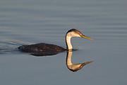 Western Grebe swimming with reflection at sunrise.(Aechmophorus occidentalis).Bolsa Chica Wetlands,California