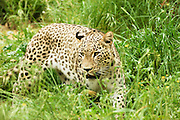 Leopard Panthera pardus searching for food