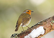 Robin, Erithacus rubecula, on pinewood branch in winter, Inverness-shire, Highland, snow