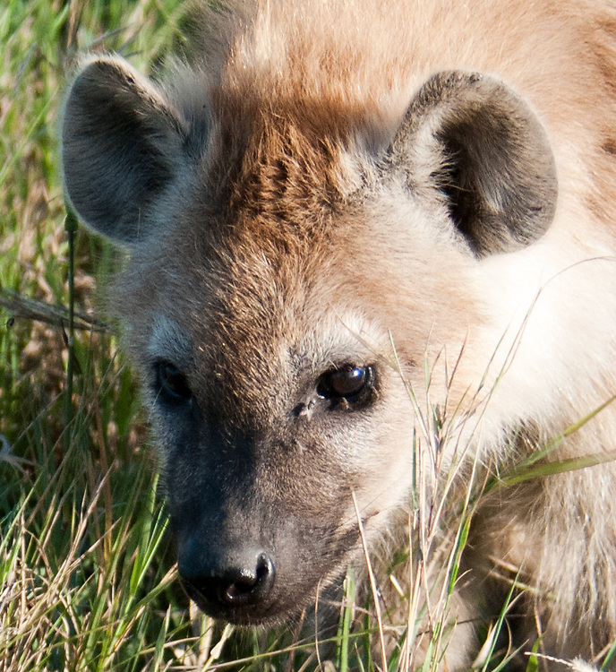 The Spotted Hyena in closeup - Fisi