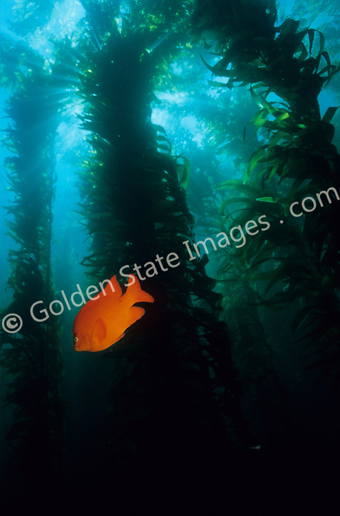 The Garibaldi is likely the most recognized of California Kelp Forest inhabitants. Its bright orange coloration is unmistakable against the dark green of the kelp.    <br /> <br /> Under ideal conditions Macrocystis can reach lengths of 100 feet or more within 1 to 2 years. A Kelp Forest supports an incredibly diverse community of marine life made up of nearly 800 known species. <br /> <br /> As the oceans equivalent of trees, a kelp plant shares many of their features. At the base is a large structure called a holdfast which form the roots. Then there is the stipes which make up its trunk and branches. Flat blade like structures then form the leaves.<br /> <br /> Kelp: <br /> Range: Alaska to Magdalena Bay Baja Mexico    <br /> Species: Macrocystis pyrifera<br /> <br /> Garibaldi Fish: <br /> Range: Monterey Bay California to Magdalena Bay Baja Mexico<br /> <br /> Species: Hypsypops rubicundus
