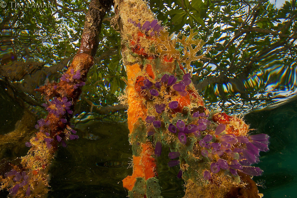 Rich invertebrate life including purple and green tunicates and orange sponges cover the underwater portions of red mangrove roots on this offshore mangrove island in Belize.  .