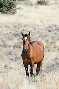 A lone wild brown horse with, a white forehead patch, watches the intruders warily in the Steens mountains of southeastern Oregon.