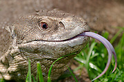 Close-up of the head and flicking tongue of a Bosc's monitor or Savannah monitor lizard (Varanus exanthematicus) walking through grass at Animal Investigations Long Sutton Lincolnshire