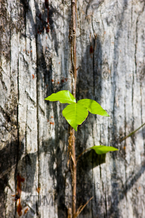 Young sapling growing on ancient tree trunk in the Everglades, Florida, USA<br /> FINE ART PHOTOGRAPHY by Tim Graham