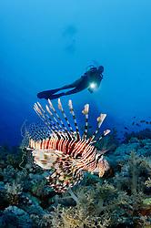 Pterois miles, Indischer Rotfeuerfisch, Rotfeuerfische und Taucher, Devil Firefish or Common Lionfish and scuba diver Elphinestone Riff, Rotes Meer, Ägytpen, Elphinestone Reef, Red Sea, Egypt
