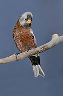 Gray-crowned Rosy-Finch (Hepburn's race) - Leucosticte tephrocotis littoralis