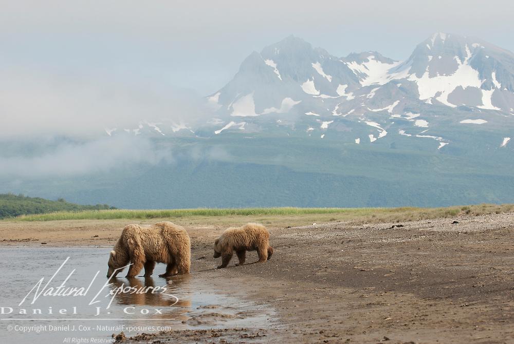 Alaska brown bear (Ursus middendorffi) mother and cub stop to get a drink. Katmai National Park & Preserve, Alaska
