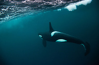 Orca, or killer whale, Orcinus orca is a toothed whale belonging to the oceanic dolphin family. Outside Senja, Norway