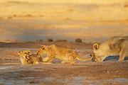 Two lions cubs (Panthera leo) playing at a water hole, Savuti, Botswana