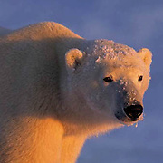 Polar Bear, (Ursus maritimus) Portrait. Illuminated in alpenglow. Churchill, Manitoba. Canada.