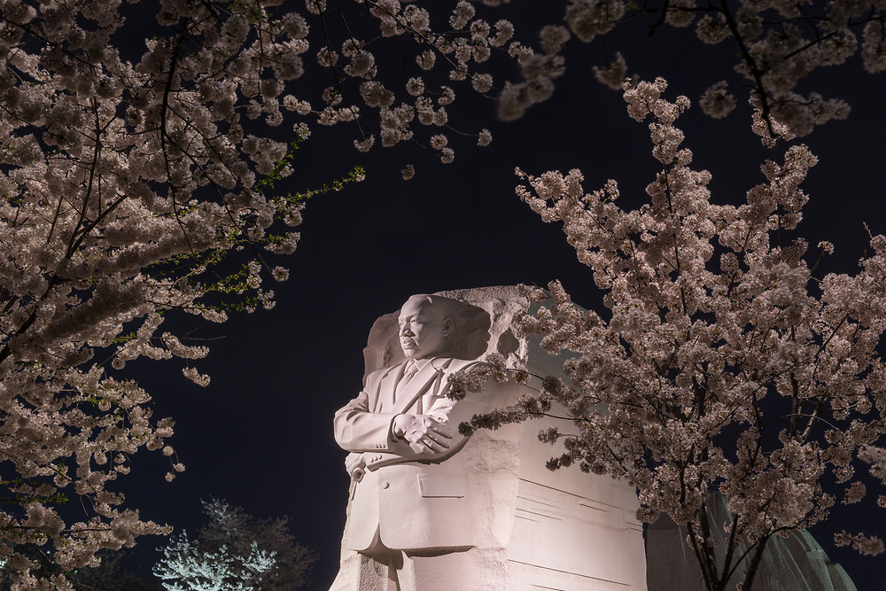 Cherry blossoms surround the Martin Luther King Jr. Memorial on the rim of Tidal Basin in the early morning hours of Sunday, April 12, 2015 in Washington, D.C.