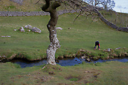 A person bends down by a stream near Malham Cove in the Yorkshire Dales National Park, on 12th April 2017, in Malham, Yorkshire, England.