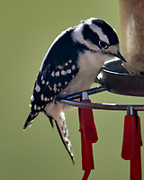 Downy Woodpecker (Dryobates pubescens). Image taken with a Nikon D850 camera and 600 mm f/4 VR lens.