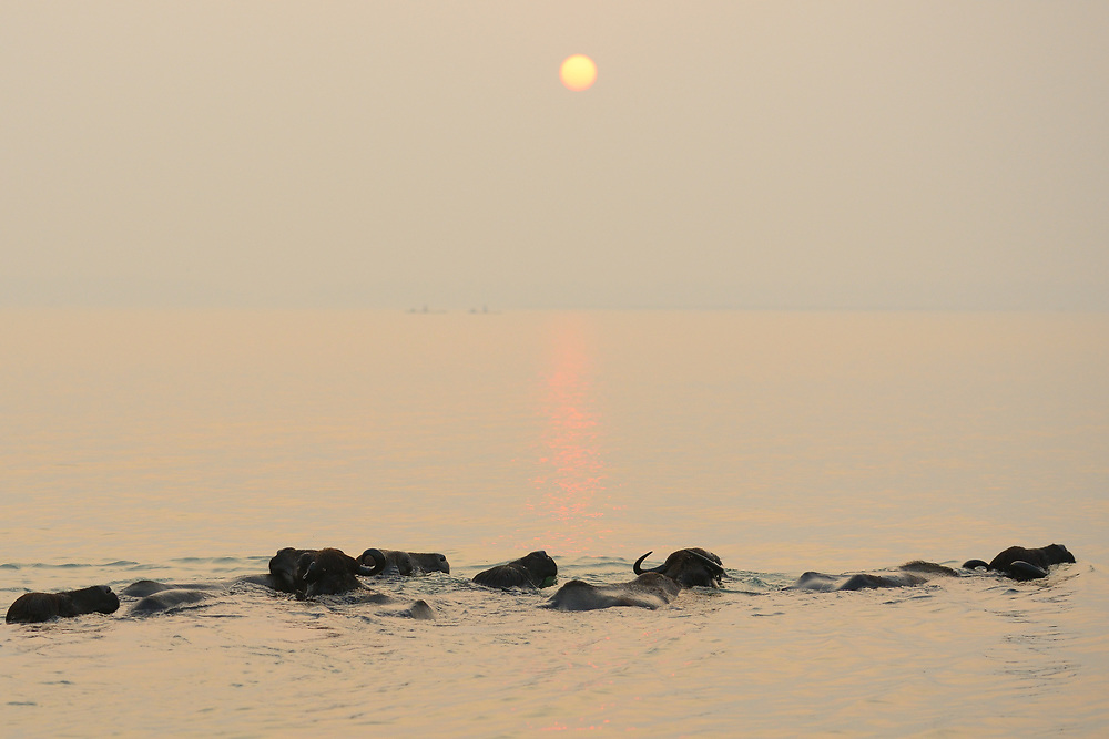 Buffalo swim in the water, Pulicat Lake, Tamil Nadu, India
