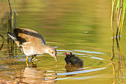 Common Moorhen (Gallinula chloropus) adult feeding a chick. Photographed in Israel in July