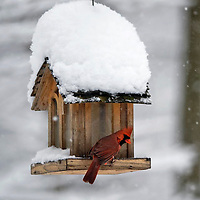 2.27.10 Northern Cardinals in Snow