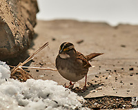 White-throated Sparrow. Image taken with a Nikon D5 camera and 600 mm f/4 VRII lens