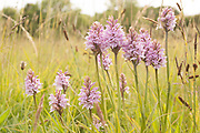 Common spotted orchids in a Dorset meadow.