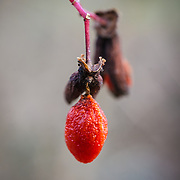 This was the last berry hanging on a tree.  It was a cold winter's day so I was surprised to see it still there.