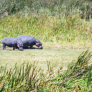 Two hippos graze in a marshy section at Ngorongoro Crater in the Ngorongoro Conservation Area, part of Tanzania's northern circuit of national parks and nature preserves.