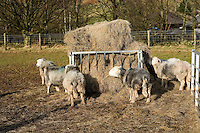 Herdwick sheep at a feeding station in Cumbria