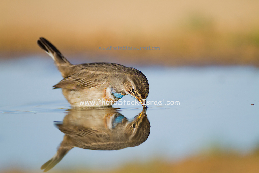 Bluethroat (Luscinia svecica) near a puddle of water in the desert, wintering in Negev, israel
