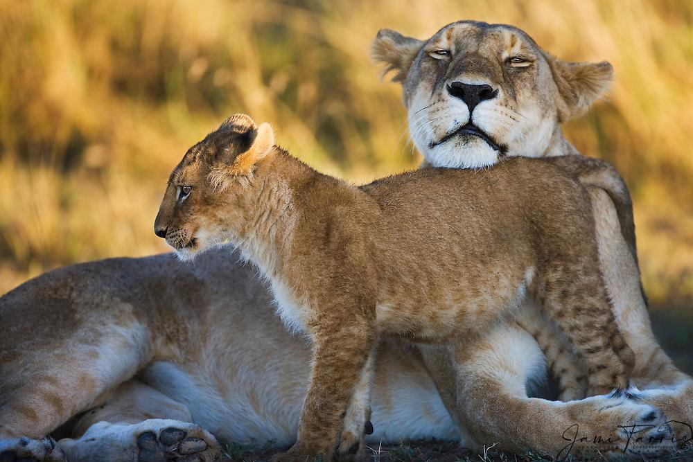A male lion cub (Panthera Leo)bonding with his mother,Masai Mara, Kenya,Africa
