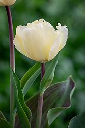 Tulipa 'Vanilla Cream'