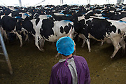 A man herds cows to and from milking at Austasia's No. 3 dairy farm in Dongying, Shandong Province, China on 31 October, 2013. By the end of 2014, the pan-Asian diary group will have invested more than $US300 million in China and have around 55,000 cattle in its herd. The rapidly increasing dairy demand from China is pushing global prices higher, especially after food safety scandals have wrecked consumer confidence in local Chinese producers, spelling ample opportunity for global producers.