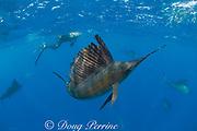 underwater photographer and Atlantic sailfish, Istiophorus albicans, hunting sardines, off Yucatan Peninsula, Mexico ( Caribbean Sea ) MR 405