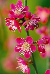 Prunus mume 'Beni-chidori' syn. 'Benishidore' - Japanese apricot