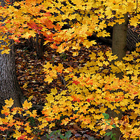 """""""Orange Tipped Maples""""<br /> <br /> An intimate look into a beautiful woodland setting filled with lovely Maple trees. Vibrant yellow leaves with orange tips bring color and contrast to the image!!<br /> <br /> Fall Foliage by Rachel Cohen"""