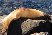 A Galápagos sea lion (Zalophus wollebaeki) sleeps in a most uncomfortable looking position on rocks by the harbour of Puerto Baquerizo Moreno. Puerto Baquerizo Moreno, San Cristobal, Galapagos, Ecuador