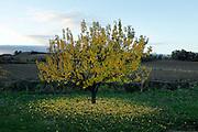 cherry fruit tree during autumn season