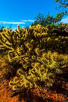 Cactus, Snow Canyon State Park near St. George, Utah USA.