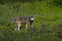 Grey wolf deep in Denali, Alaska.