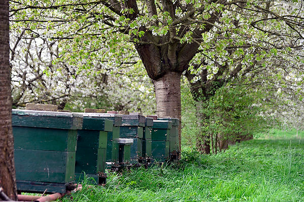 Nederland, Bemmel, 7-4-2014Fruitbomen in de Betuwe staan in bloei. Takken vol bloesem. In de boomgaard staan bijenkasten waar bijen af en aan vliegen terwijl ze de bloesem bestuiven.Foto: Flip Franssen/Hollandse Hoogte