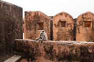 Monkey, Rajasthan, India