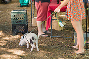 A young woman walks her Juliana teacup pet pig at a farmers market in Wicker Park August 2, 2015 in Chicago, Illinois, USA