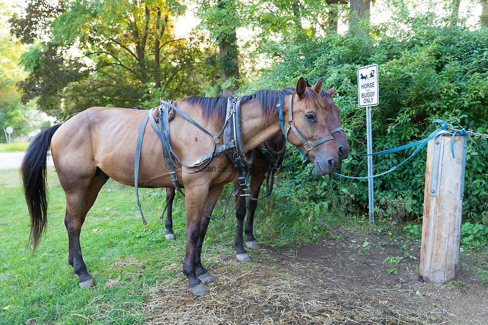 Horses, which are used by the local Mennonite population for transportation by horse-and-buggy, parked by the side of the road Elora, Ontario, Canada
