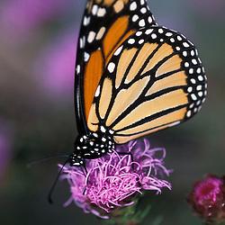 Pinkham Notch, NH..A monarch butterfly, Danaus plexippus, on a northern blazing star flower.