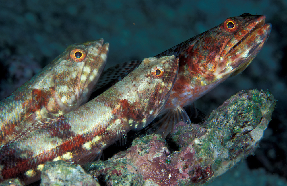 A trio of benthic Gracile Lizardfish (Saurida gracilis) perched on a rock, South Ari Atoll, Maldives