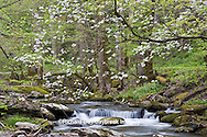 66745-03920 Dogwood trees in spring along Middle Prong Little River, Tremont area, Great Smoky Mountains National Park,TN