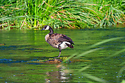 Canada Goose  (Branta canadensis) on the Los Angeles River, Glendale Narrows, Elysian Valley, Los Angeles, California, USA