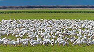 Snow Geese (Anser caerulescens) winter over in fields on Fir Island in the Skagit River Delta at Puget Sound in Washington state, USA.  The flocks of geese number in the tens of thousands and stay close together in flocks for protection of numbers against Bald Eagle and Hawk raptors.