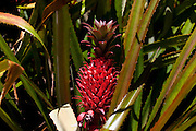 Red Pineapple, Hana coast, Maui, Hawaii