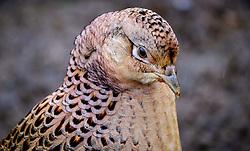 Female pheasant (Phasianus colchicus) in South Lanarkshire, Scotland<br /> <br /> (c) Andrew Wilson | Edinburgh Elite media