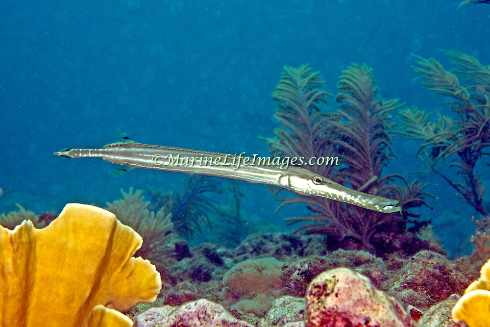 Atlantic Trumpetfish inhabit coral reefs and surrounding areas and attempt to concel their presence by drifting near similar elongate structures in Tropical West Atalantic; picture taken Grand Cayman.