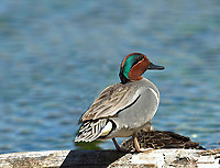 Green-winged Teal (Anas crecca), Banff national park - Vermillion Lakes                      Photo: Peter Llewellyn